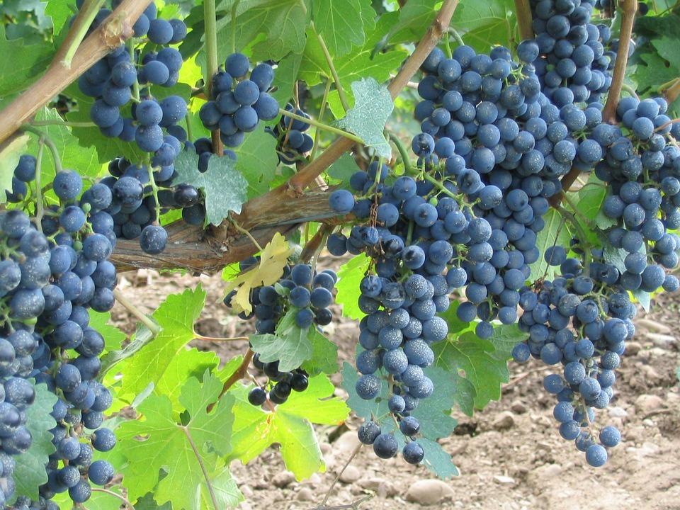 grapes-406269_960_720